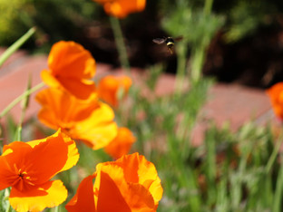 Yellow Faced Bumble Bee in the Poppy Patch