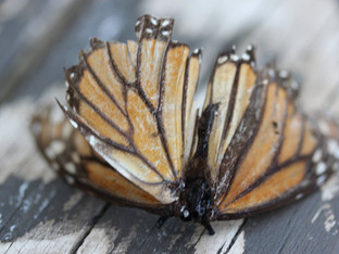 Poignant elegy for a monarch butterfly