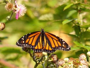 Releasing monarchs