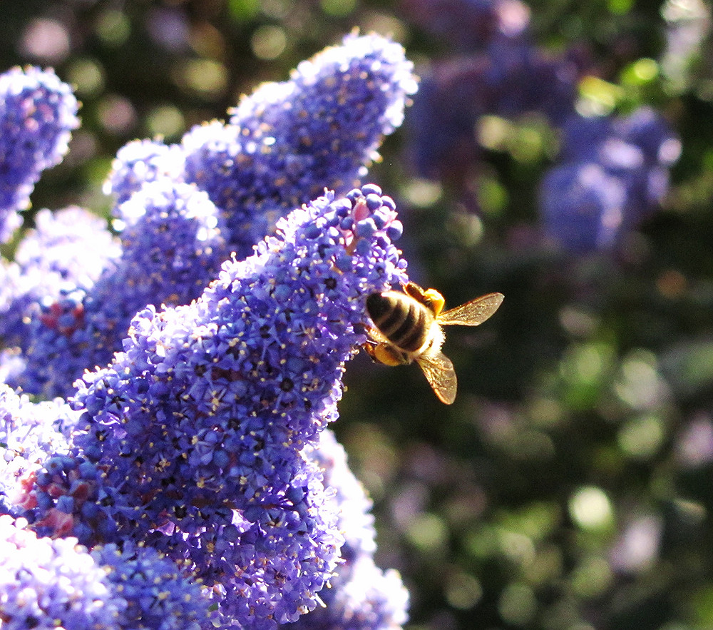 bee on ceanothus c_edited.JPG