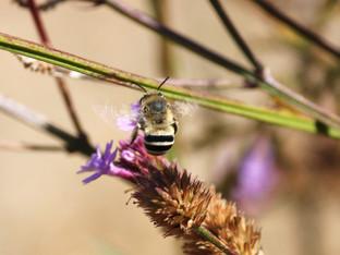 Digger Bees Thriving