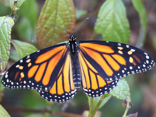 The overwintering monarch count so far very encouraging