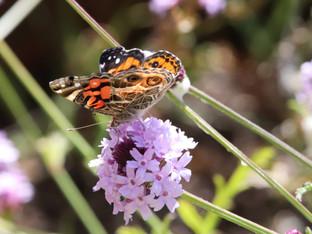 Butterflies on the Verbena De La Mina
