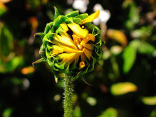 Delta sunflower