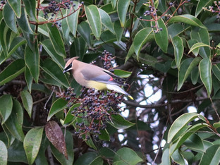 The cedar waxwings are back in full force