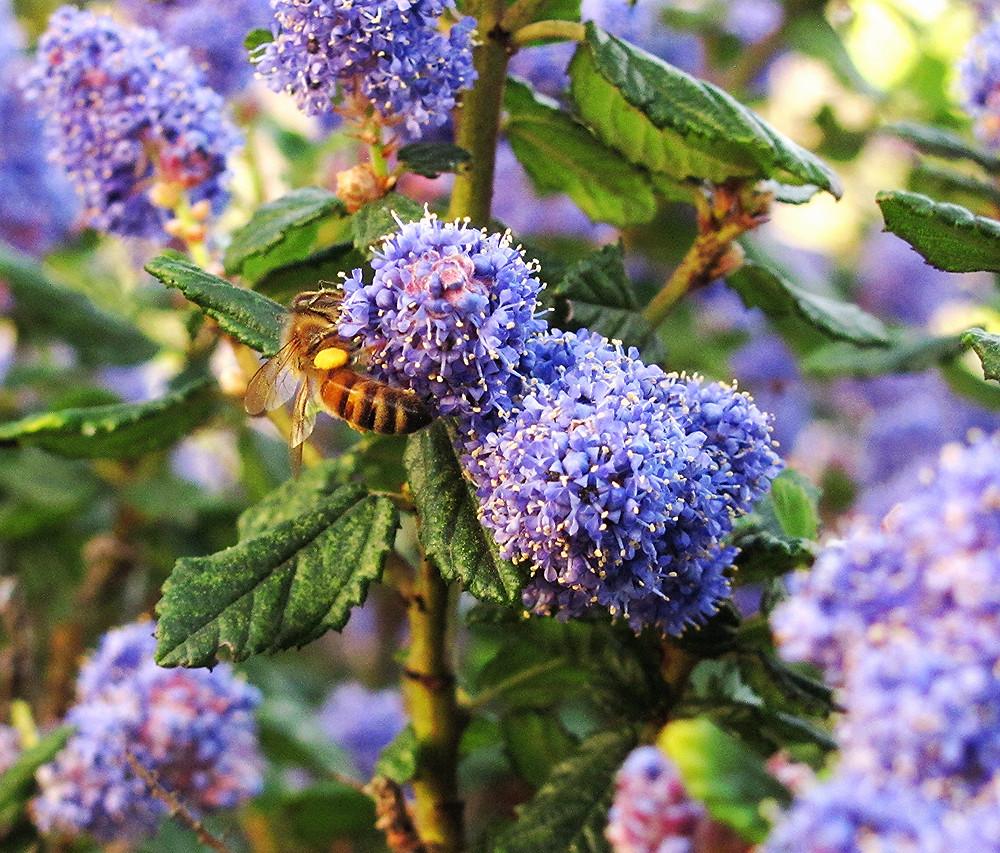 honeybee in ceanothus a_edited.JPG
