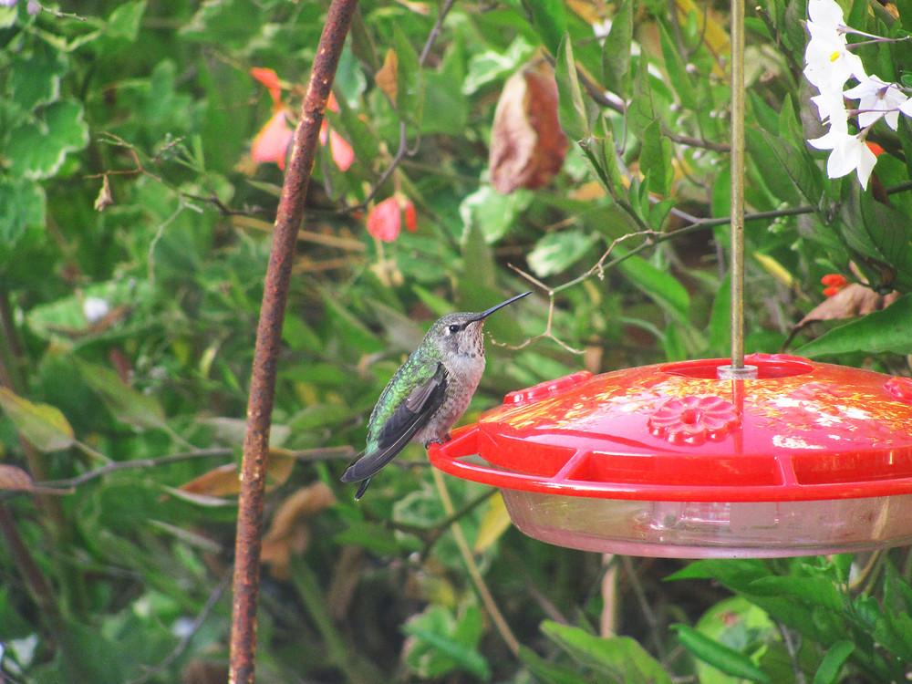 better hummingbird image September 14.jpg