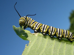 Hangry Monarch Caterpillars