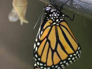 Presenting Mr Monarch Butterfly