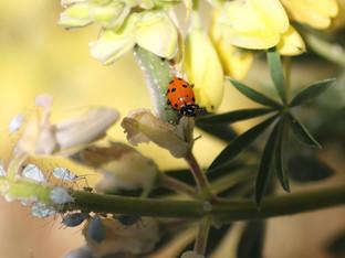 Ladybug farm at work on the Coastal Yellow Lupines