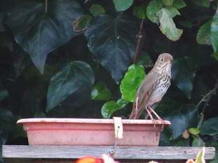 Hermit Thrush in the Bird Bath