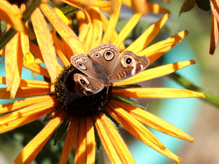 Buckeye Butterfly visitor