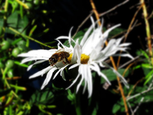 Honey bees on daisies