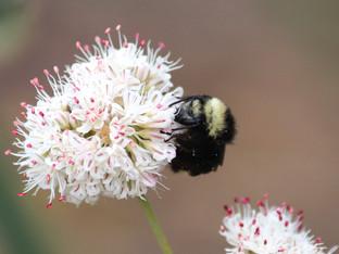 Sleeping Yellow-Faced Bumble Bees