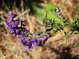 California natives still blooming