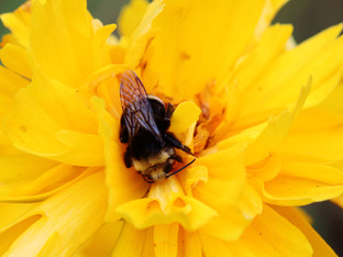 Sleeping Yellow-Faced Bumble Bee