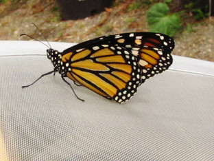 Monarch butterfly number 3 released