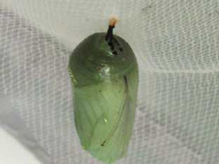 The monarch chrysalises are still hanging around