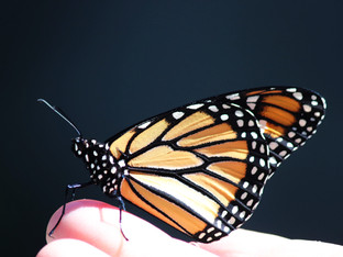 Another lovely monarch female released