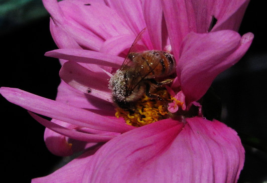 honey bee with white pollen in prom dress cosmos_edited.JPG