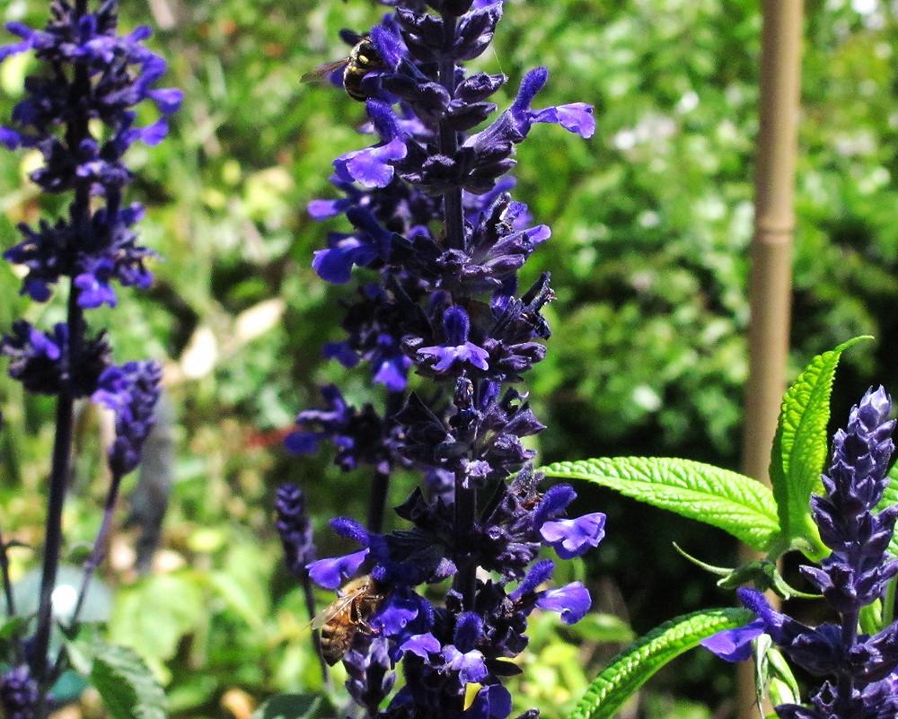 digger bee and honey bee on dwarf indigo spire_edited.JPG