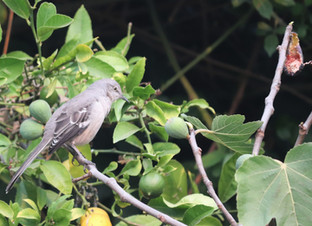 Northern Mockingbird and the Black Jack Fig