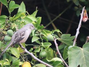 Northern Mockingbird and the Black Jack Fig