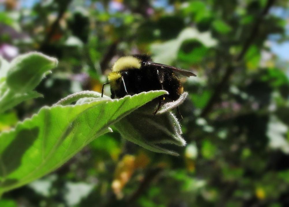bumble bee on lavatera leaf 6_edited.JPG