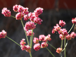 Native buckwheat still blooming and lovely