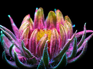 Ultraviolet light, flowers and pollinators
