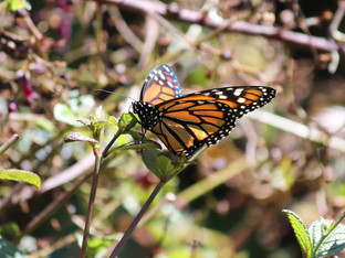 Another Mama Monarch visit
