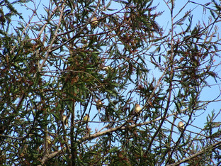 How many Cedar waxwings do you see?