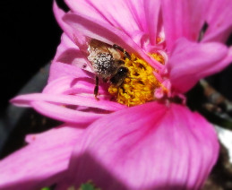 honey bee with white pollen in prom dress cosmos 2_edited.JPG