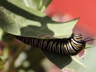 Monarch caterpillars in the garden