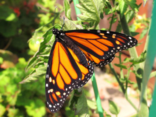 The monarch butterflies are out and on their way