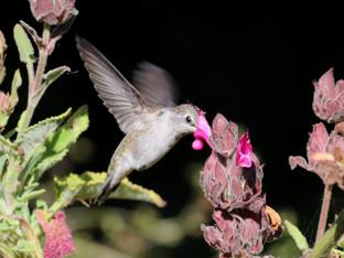 Anna's Hummingbirds in the Garden