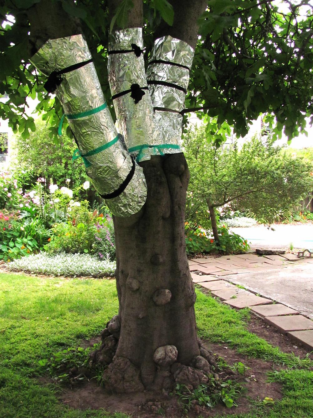 fig tree with aluminum foil_edited.JPG