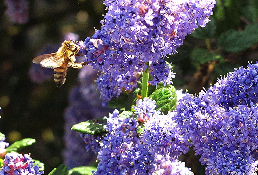 honeybee on ceanothus e_edited.JPG
