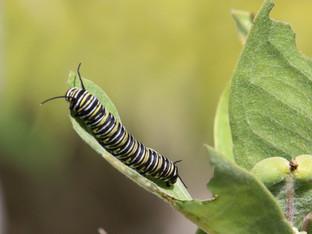 Monarch caterpillars munching