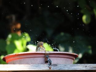 Hermit thrush in the birdbath