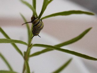 Time to raise the monarch caterpillars