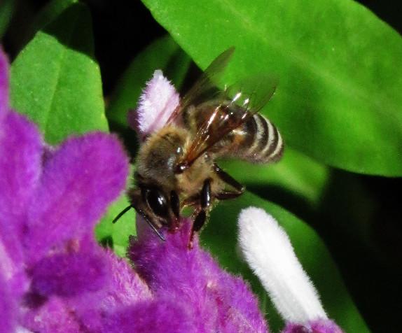 honey bee on mexican sage 2_edited.JPG