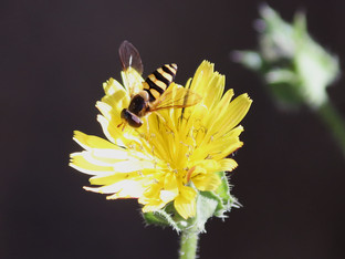 As long as there is nectar