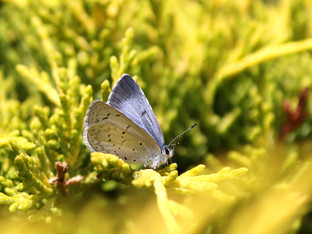 First Echo Blue Butterfly Sighting