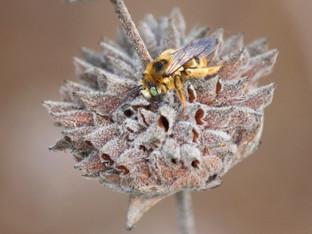 Sleeping Summer Long-Horned Bee