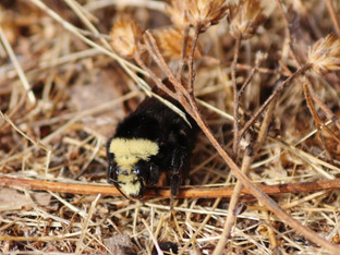 Yellow-faced bumble bee moving pollen