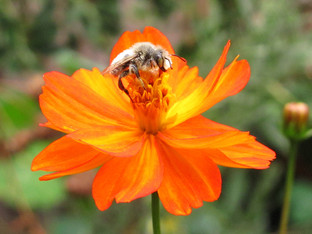 Ivory banded digger male bee waking up on Klondike cosmos