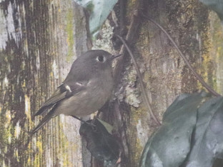 A Ruby-crowned Kinglet visiting