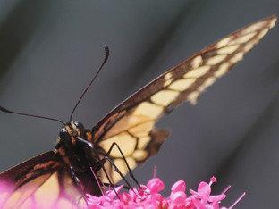 Tattered Anise Swallowtail sipping on Red Valerian