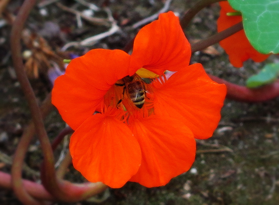 honey bee in nasturtium_edited.JPG